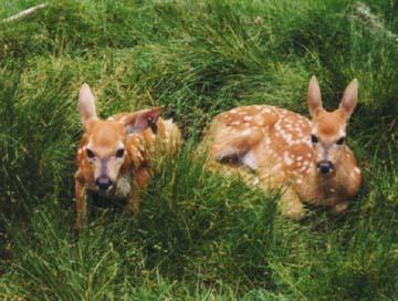deer2-jpg