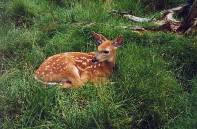 deer4-jpg