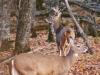 deer3-jpg