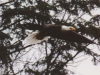 eagle-jpg